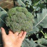 Gajenje brokolija, kelja i karfiola