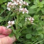 Vranilova trava (divlji origano) lekovitost – čaj od vranilovke priprema i upotreba