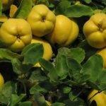 Čaj od lista dunje ‒ prirodni lek protiv proliva