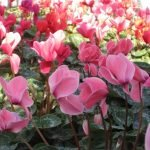Cveće ciklama (pitoma i divlja) gajenje, održavanje, razmnožavanje
