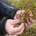 Islandski lišaj kao lek protiv kašlja – čaj – sirup