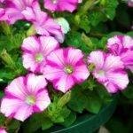 Cveće petunije – najbolji saveti za sadnju i negu