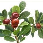 Uvin čaj priprema i upotreba za bubrege, mokraćne kanale, jajnike…