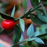 Kostrika – Ruscus aculeatus Ruscaceae – Ježevina – Veprina