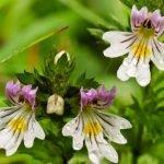 Vidova trava – vidac čaj narodni lek za oči