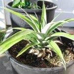 Sadnja i uzgoj ananasa u saksiji u kućnim uslovima