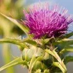 Sikavica ili gujina trava čaj za jetru | Lekovitost | Silmarin