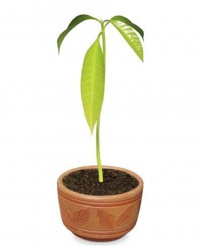 mango uzgoj u saksiji.jpg