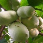 Pav pav ili indijanska banana – lekovitost, uzgoj, nega,