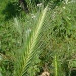 Popino prase biljka (Hordeum murinum) – alergija – uticaj na pse