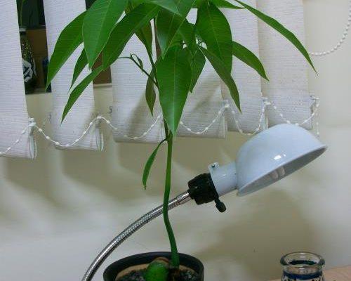 mango uzgoj iz semena