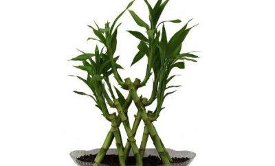 srecni bambus nega