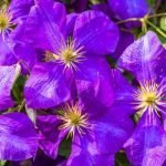 Klematis – 10 saveta za uzgoj prelepe puzavice (sadnja, zalivanje, orezivanje…)