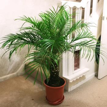 kucna palma