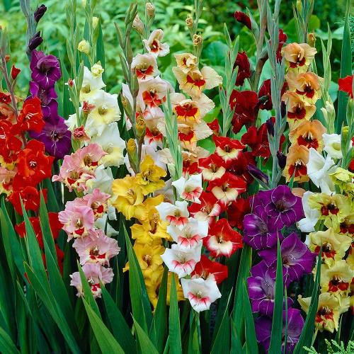 gladiole uzgoj