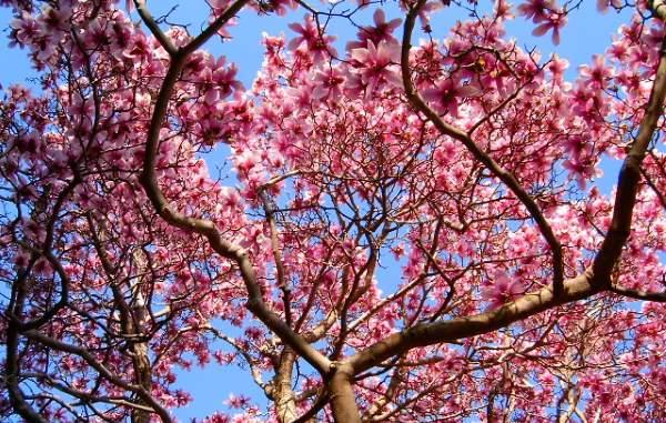 magnolija rezidba