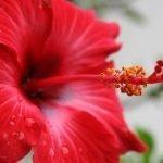 Kućni hibiskus – uzgoj, nega, orezivanje