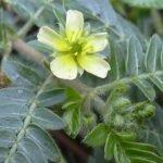 Biljka babin zub (Tribulus terrestris) lekovitost, čaj, priprema
