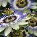 Hristov venac (pasiflora) uzgoj, održavanje, lekovitost, plod