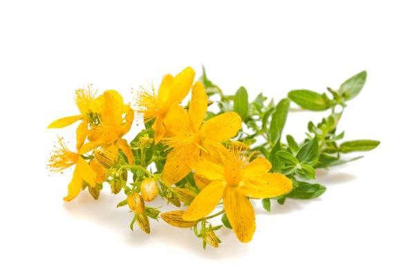 lekovita biljka kantarion