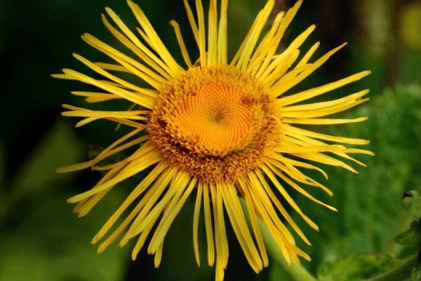oman biljka