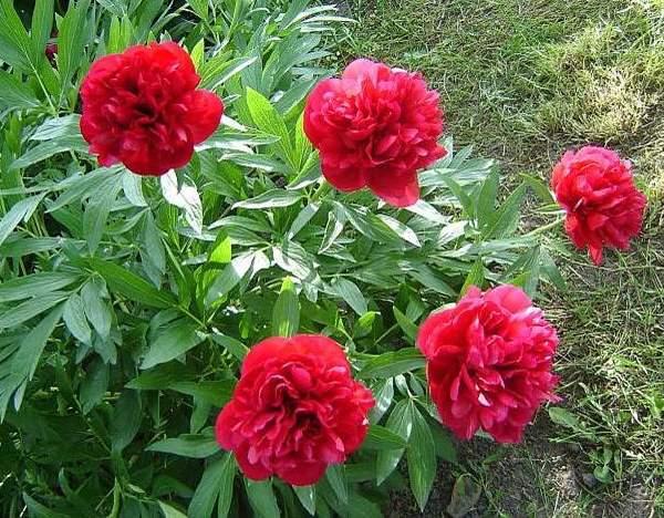 bozur cvet