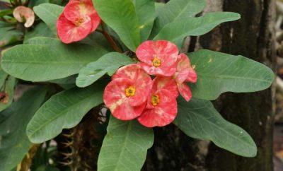 isusov cvet
