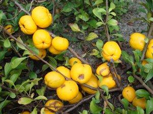 japanska dunja plod