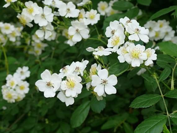 japanska ruza uzgoj