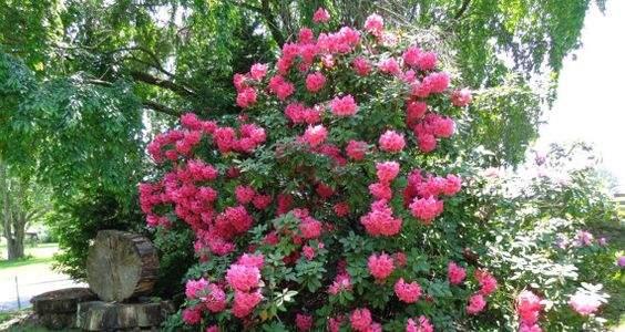 odrzavanje rododendrona