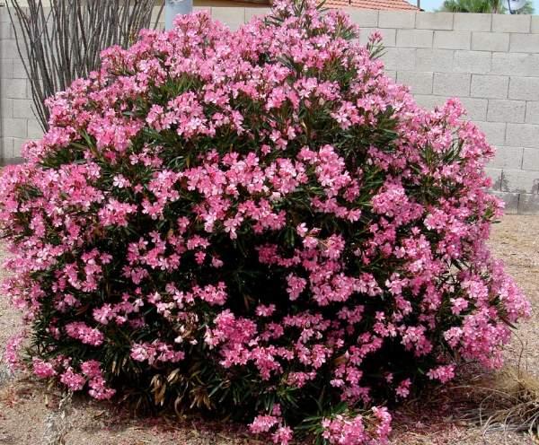 oleander gajenje