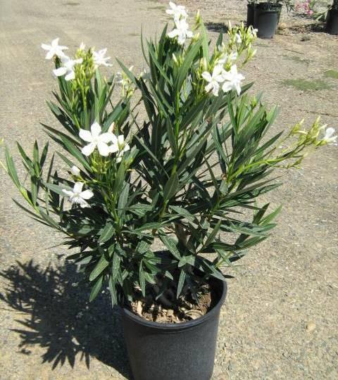 oleander u saksiji