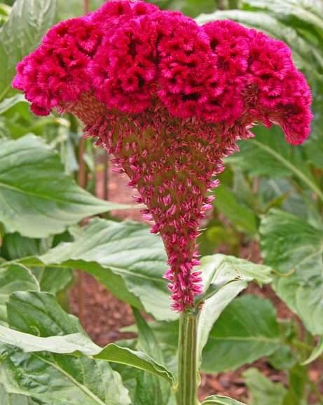 petlova kresta cvet