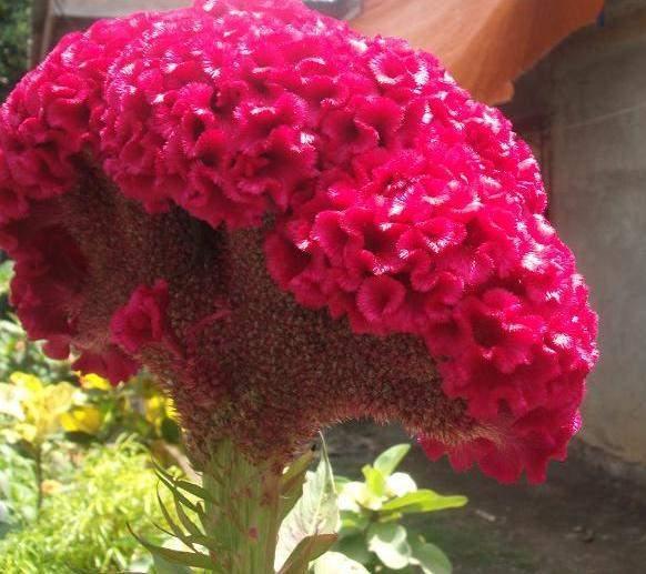petlova kresta uzgoj