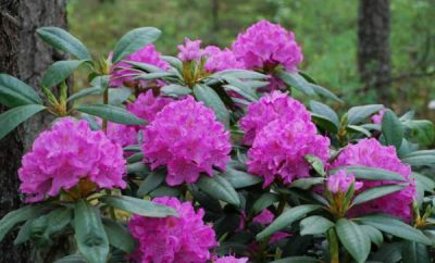 rododendron gajenje