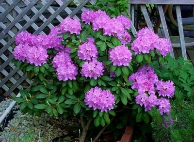 rododendron uzgoj