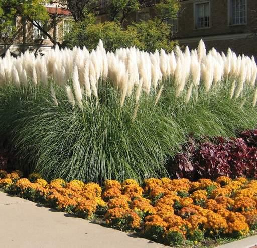 uzgoj pampas trave