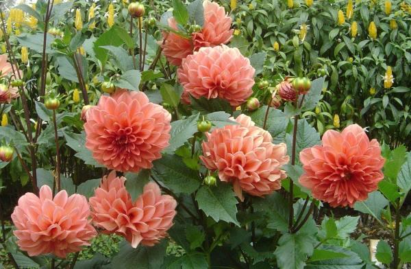 dalija cvet