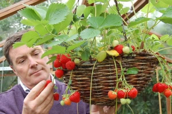 gajenje jagoda
