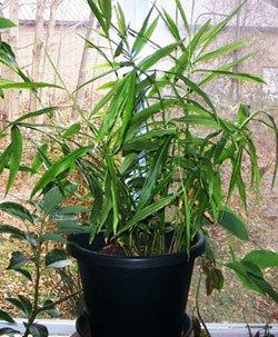 kako izgleda biljka djumbira