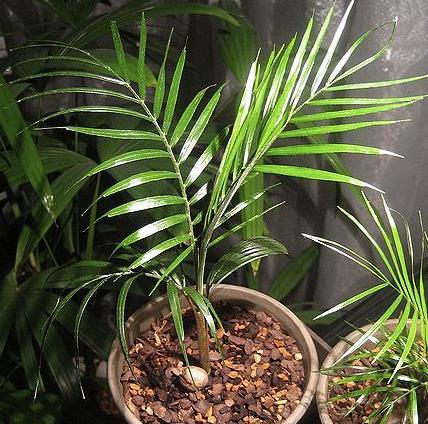 kokos palma