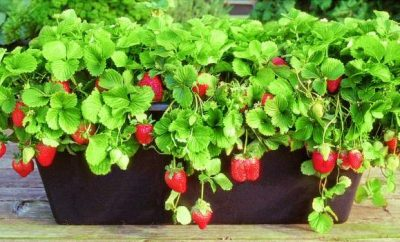 uzgoj jagoda na terasi