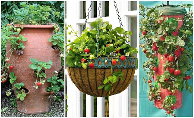 uzgoj jagoda u visecim saksijama