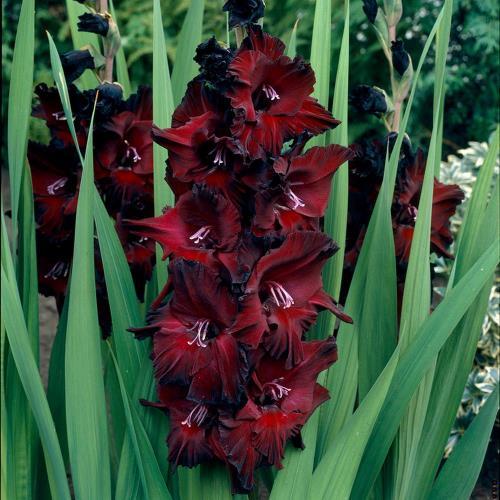 gladiole gajenje