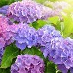 hortenzije uzgajanje