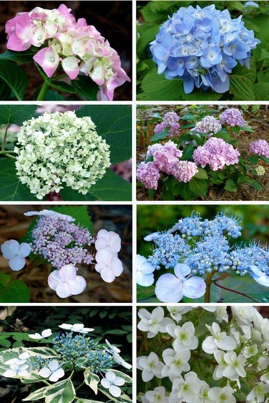 hortenzije uzgoj