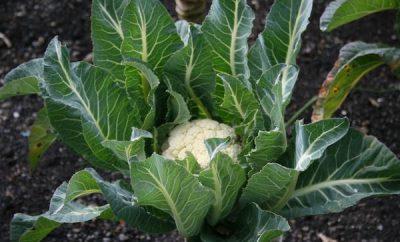 karfiol uzgoj