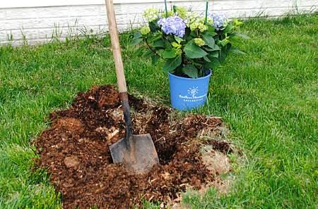sadnja hortenzija