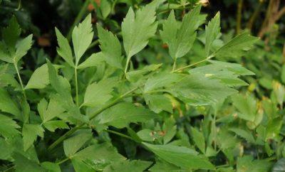 selen biljka