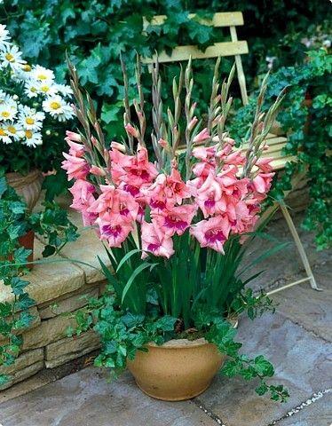 uzgoj gladiola u saksiji